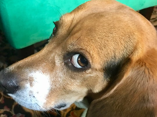 Donut the beagle is the mascot of World Famous Donut Ice Cream Sandwiches.