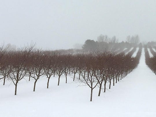 Snow covers a vineyard in Sutton Bay. Cold-tolerant grapes made it through the past two harsh winters.
