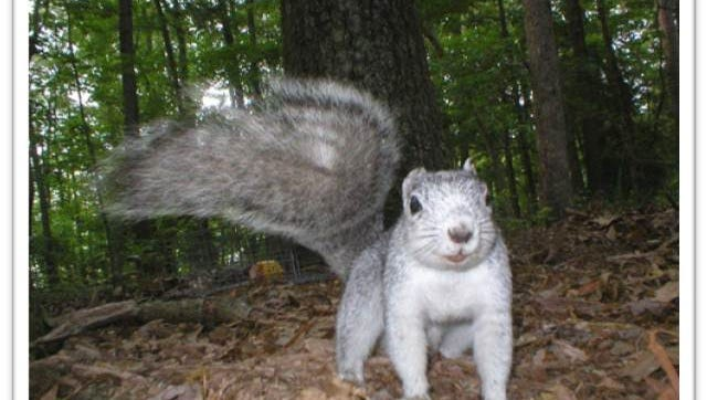 Delmarva Fox Squirrels are bigger and more silvery that gray squirrels that are common in Delaware. This one was photographed with a wildlife camera at Prime Hook National Wildlife Refuge. The Delmarva fox squirrel is on Delaware's endangered species list.