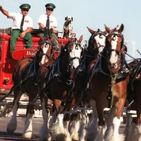 You have four more chances to see the mighty and majestic Budweiser Clydesdales, starting Thursday, March 26, at Salt River Fields.