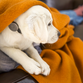 A puppy wears the Whistle activity tracking device.