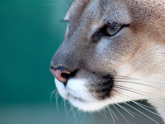 An example of a Florida panther. (iStock)