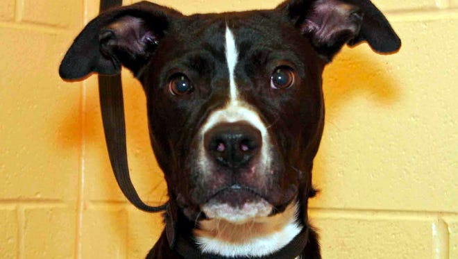Kenwood is a young male mixed breed who was found as a stray. He is very energetic and really enjoys being out of his kennel. Kenwood will most likely calm down with regular exercise and a place to run. Find him at Montgomery County Animal Care and Control, 616 N. Spring St., 931-648-5750, www.facebook.com/MontgomeryCountyAdoptionServices.