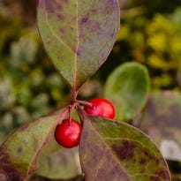Teaberry is a subshrub with a bright berry