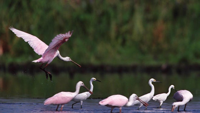 A roseate spoonbill lands on the lake to feed with other spoonbills and egrets in Fisheating Bay on Lake Okeechobee.