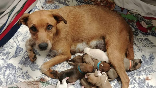 Mama Zoe pictured with her seven puppies.