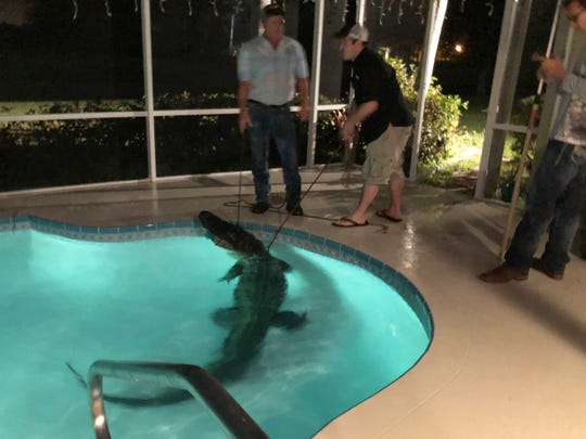 In this photo provided by Sarasota County Sheriff's Office, authorities remove an alligator from a pool in Sarasota, Fla. Authorities received a call about the alligator Friday, March 30, 2018.