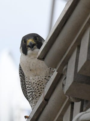 A peregrine falcon sounds a warning Wednesday while keeping an eye on one of her chicks atop Chase Tower in downtown Canton.