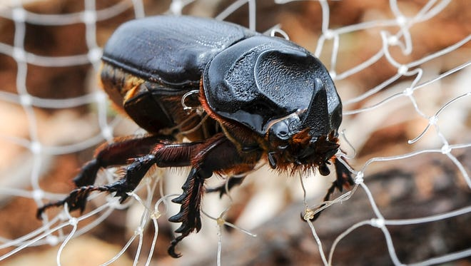 A coconut rhinoceros beetle is photographed caught in tekken netting March 27, 2015, at the LeoPalace Resort in Yona, Guam.