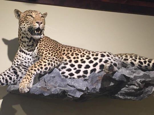 A leopard native to southern Africa