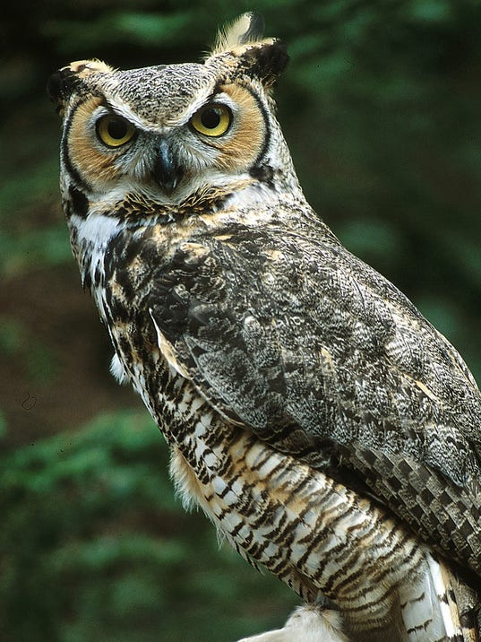 great horned owl (2).jpg