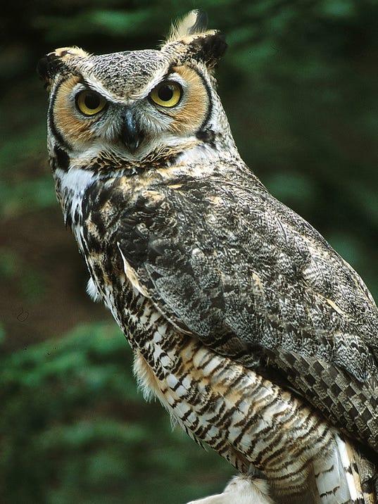 great horned owl (2).jpg
