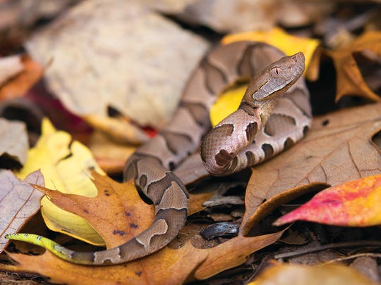 Southern copperhead, Webster County