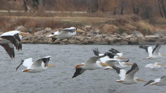 East Lake has become a favorite stop for the pelicans over the last several years.