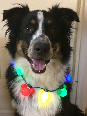 Cheddar the Australian shepherd brings joy to every occasion, including Christmas.