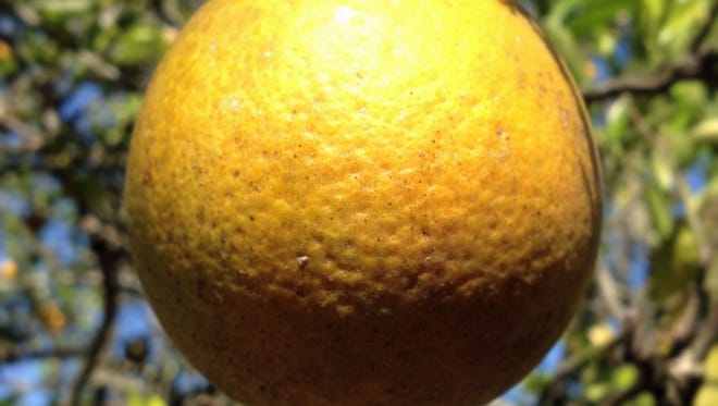 Valencia Oranges are ripe and ready for purchase at Sun Harvest Citrus in south Fort Myers.