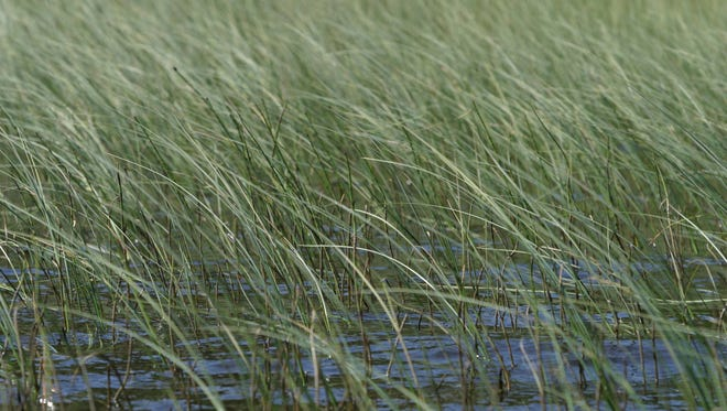 Grass blowing in wind
