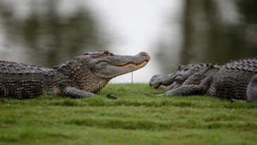 Golf host encounters alligator eating a turtle