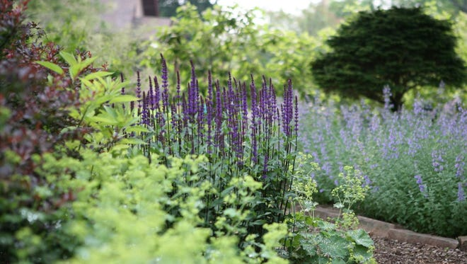 A painterly combination: perennial salvia, ladies mantle and cat mint are part of Bonnie Buchanan's garden in Appleton.