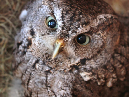 As soon as the baby owl was put back in the nest, this