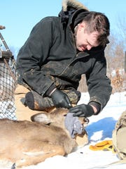 Dan Storm, DNR ungulate research ecologist, applies