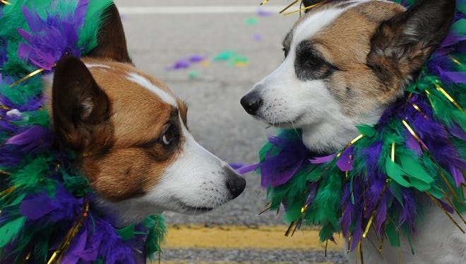 Two corgis wait for the ninth annual Mardi Growl pet parade to begin on March 5, 2016.  The event benefits the Young-Williams Animal Center.