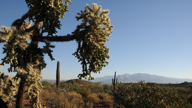 Cholla and other types of cactus are abundant along the Sweetwater Preserve's Black Rock Loop. The Santa Catalina Mountains are in the distance.