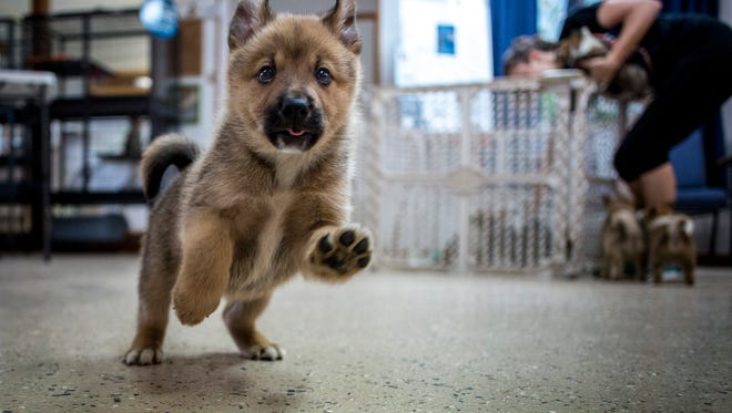 A puppy flails across the floor while playing with volunteers Thursday, June 16, 2016 at the Humane Society of St. Clair County SNAP in China Township. The nine Norwegian buhund puppies were surrendered to SNAP after 98 dogs were seized from a Cottrellville Township home. The puppies have been placed in foster homes before they are put up for adoption.