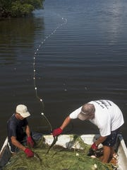 Fisherman remove mullet from legal seine nets during a recent outing.