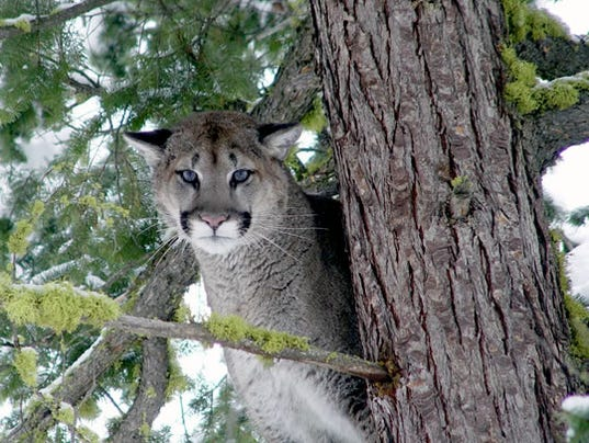 636501738824880166-cougar.jpg