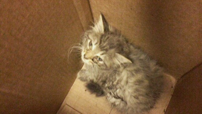 The kitten relaxed in a box after its rescue from being wedged in the wheel well of a car.