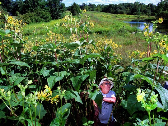 Andy Larsen, former Executive Director of the Riveredge Nature Center, checks height of cup plant, a native prairie flower, near the visitor center.