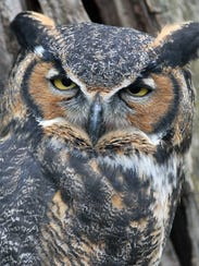 A Great Horned Owl poses for photos at the Ohio Bird