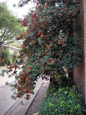 Even as Wichitans prepare for a warmer Thanksgiving holiday than in years' past, the holly tree outside a home at Waverly Place bursts with seasonal color.