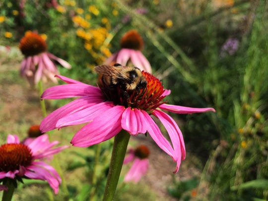 A bee checks out a purple coneflower in the Gustafson's