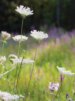 Because of its long root, Queen Anne's lace is also known as wild carrot.