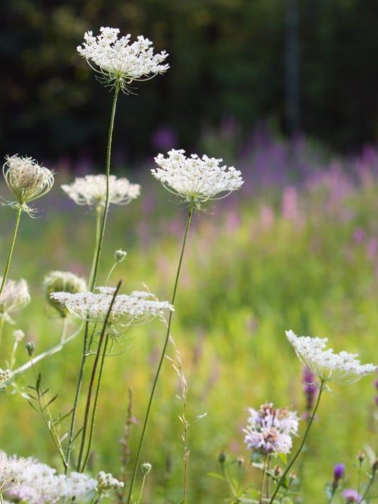 Flower - Queen Anne's Lace - David Ramage.JPG