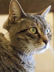 "Madison Grace is a ""Kanter Cat,"" which means there is no  fee to adopt her."