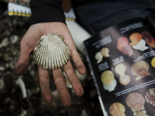 Bailey Slater, a marine sciences student from University of North Florida, identifies a scallop during a trip Wednesday.