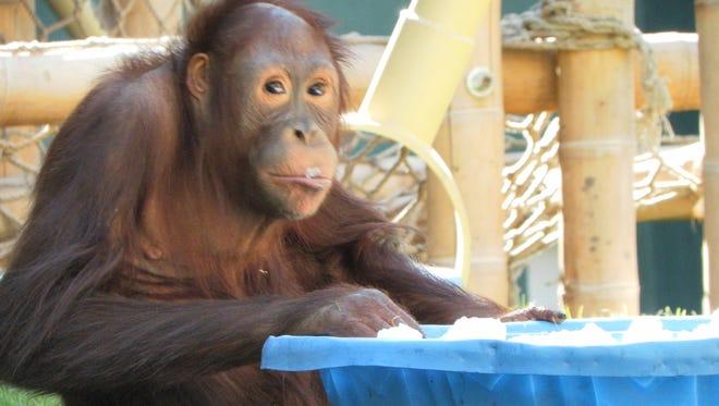Snow tastes pretty good to Kasih, a Bornean orangutan at the Phoenix Zoo.