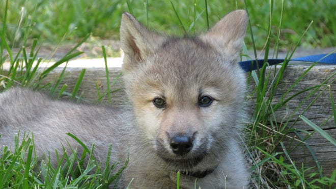 Nikai, an 7-week-old gray wolf at the Wolf Conservation Center in South Salem.
