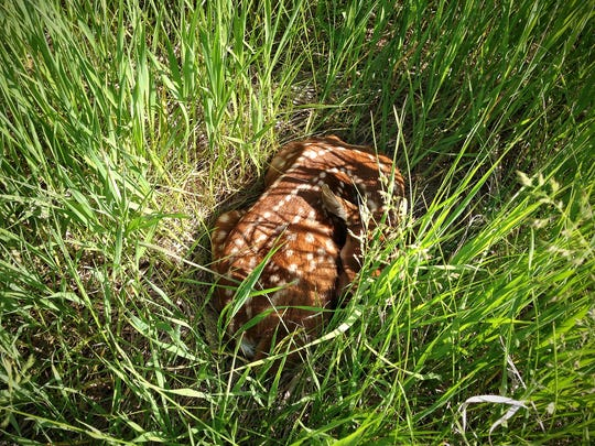A fawn curls up in waist-high grass in Upper Sioux Agency State Park on May 29 near Granite Falls. Does do not abandon their young. The best thing to do if you see a fawn: Leave it alone.