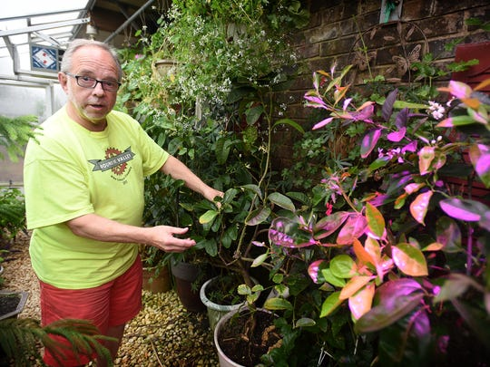 The Voodoo lily is nicknamed Audrey and lives quietly in the basement of South Londonderry resident Bill Wertz. Wertz, of Wertz Candies in downtown Lebanon, is retired and devotes his time to cultivating rare species like the Voodoo lily, or Devil's tongue. The flower blooms for one day.