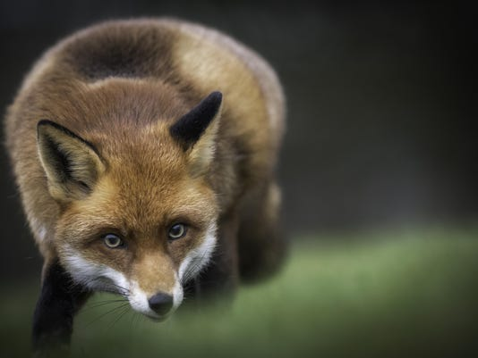 Fox in the countryside