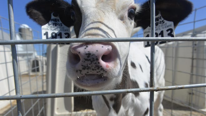 A cow peeks its nose out of its cage at Tony Simon's farm in St. Nazianz.