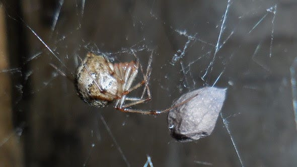 Common house spider by David Bruns. Lean more about these amazing arachnids during MDC's free Meet Your Spiders online program Thursday, Sept. 24 from 3-3:45 p.m.