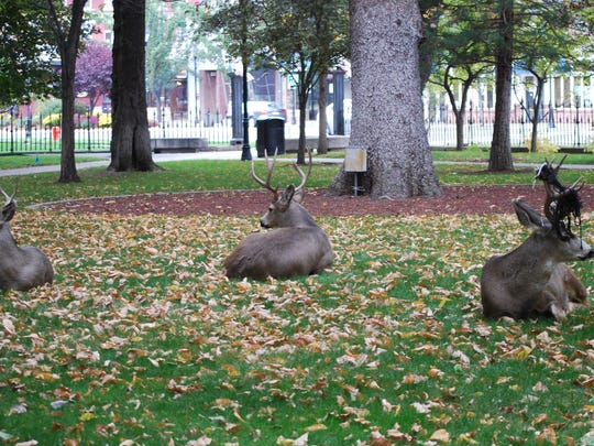 Three mule deer bucks, part of a small herd of seven deer, relax on the lawn in front of the Nevada State Capitol in Carson City on Tuesday.