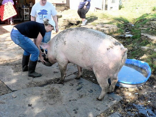 Winnie, a 500 pond Yorkshire pig has been at the sanctuary