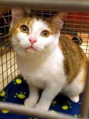 Mini Me is an adorable young female domestic shorthair