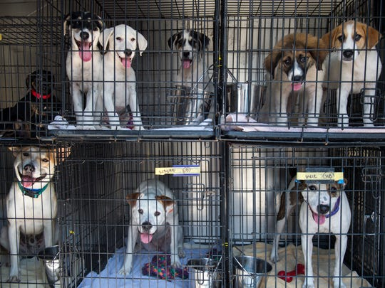 Dogs wait to be transported by the Smoky Mountain Animal Care Foundation's van at the Blount County Animal Shelter on Friday, July 14, 2017.